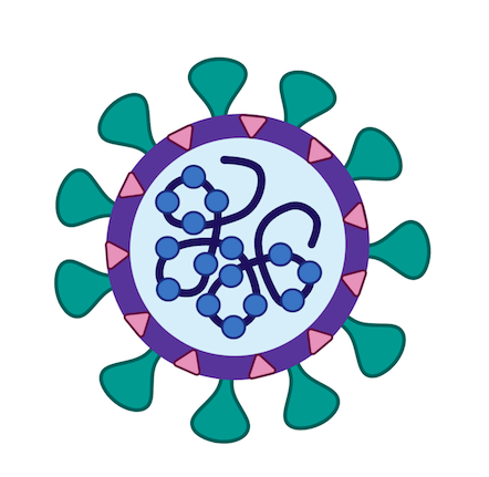 Image highlighting the structure of a virus. The virus is round with spike like protrusions called spike proteins. It has a strand of genetic matter inside the round capsule.